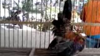 Download Video Ayam Unyu Punyu Munyu MP3 3GP MP4