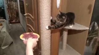 Мейн кун хочет мясо!