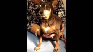 Honking Pinscher Dog