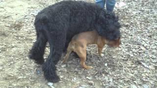 Staffi и Русский чёрный терьер