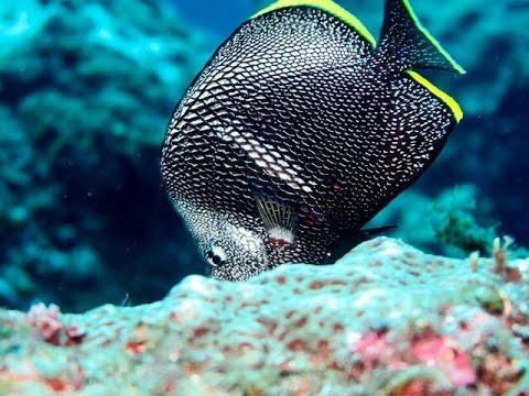 Wrought Iron Butterflyfish (Chaetodon Daedalma) In Hachijojima, Japan