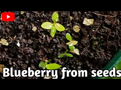 How To Grow Blueberry From Seeds.. It's Growth Is Slow