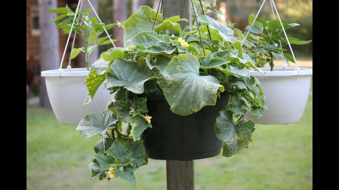Growing Vegetables In Hanging Baskets You