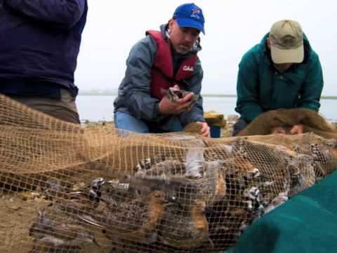 The Shorebirds of Delaware Bay