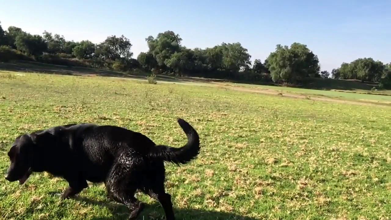 Labrador Golden Retriever Negro 2 Anos Youtube