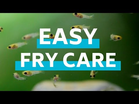 How To Feed And Care For Baby Fish In An Aquarium