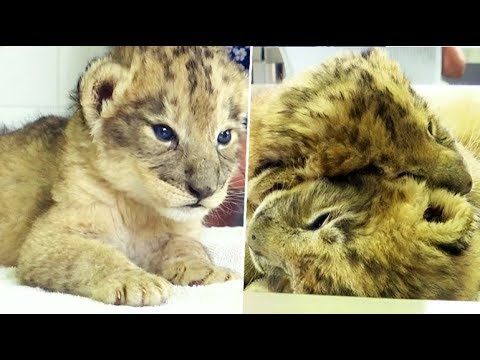 Birth of world first lion cubs via artificial insemination marked in South Africa