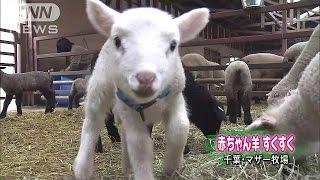 千葉県のマザー牧場では、赤ちゃん羊の鳴き声が響いています。 牧場には...
