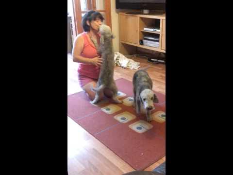 MARYS POOCH PAD  BEDLINGTON TERRIERS KISSING DOG CARER