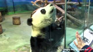2014/11/18 圓仔與粉絲擊掌 Giant Panda Yuan Zai high five with fans