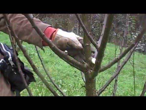 Sobre la poda del cerezo rbol frutal doovi - Poda del cerezo joven ...