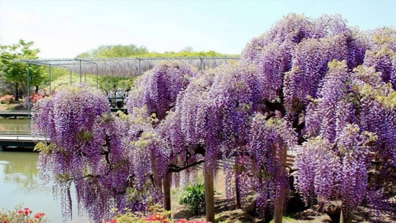 Wisteria Flower Tunnel The Ashikaga Flower Park Japan Hd1080p Youtube