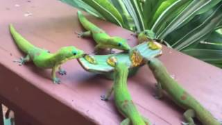 Gecko's with Lickitung Sounds