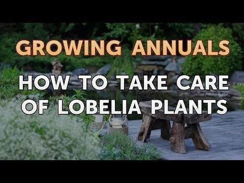 How To Take Care Of Lobelia Plants Youtube