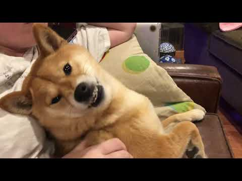 Angry Shiba Hates And Loves Scratches