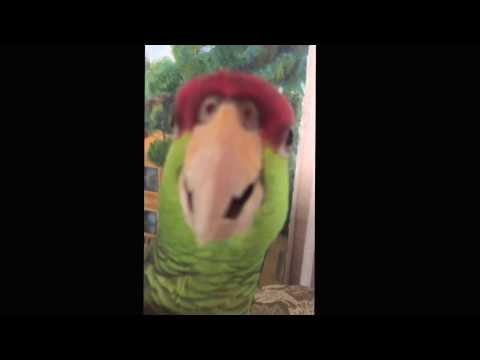 Mexican amazon parrot very angry and gangster