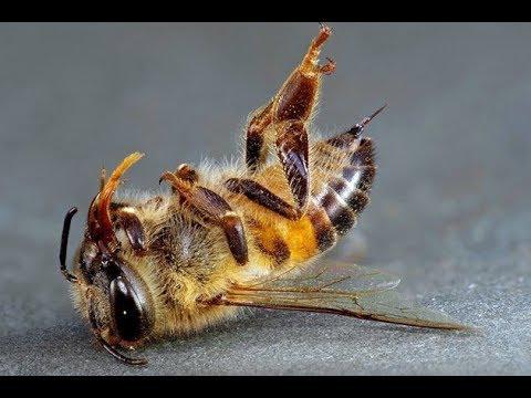 Как пчёлы убивают матку. 7 СЕКУНД