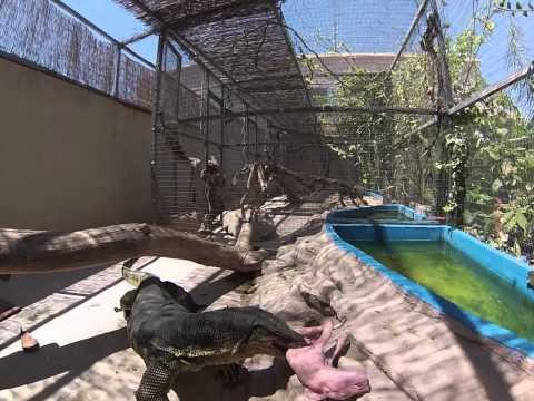 Varanus salvator feeding time