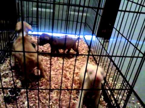 Baton Rouge Old Family RedNose Pitbull Puppies!