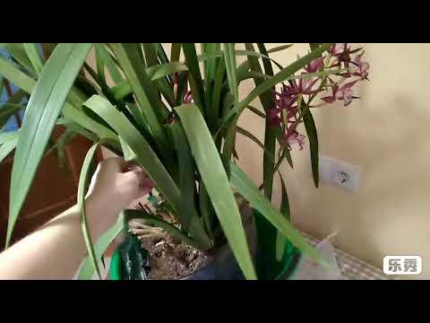 Вопрос: У орхидеи цимбидиум мягкие корни, всё ли с ней в порядке?