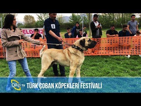 Türk Çoban Köpekleri Festivali -KANGAL AŞKI