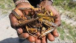 Heuschreckenplage in Afrika