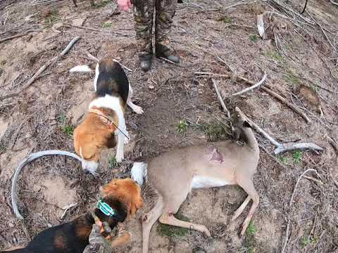 Runnig Deer With Walker Dogs. Louisiana