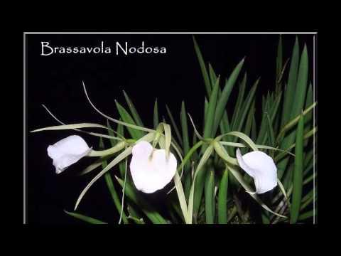 Maravilhoso Mundo das Orquídeas