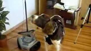 Dog/chromatic Harmonica Duet.  English Springer Spaniel.