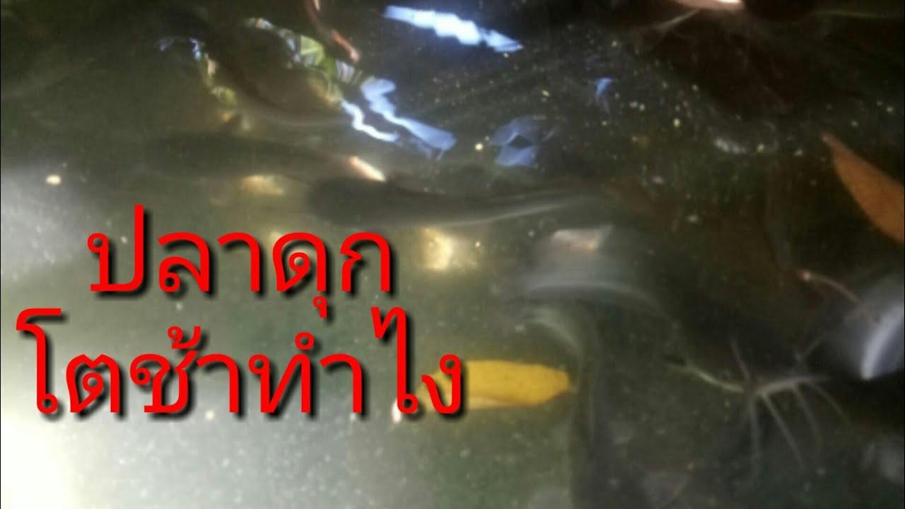 ปลาดุกที่เลี้ยงในวงบ่อซีเมนต์ชงักไม่ยอมโตlแม่จอยโชว์