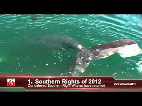 First Southern Right Whales of season 2012 in Kleinbaai, Dyer Island - South Africa