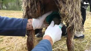 Curando la mastitis de una oveja