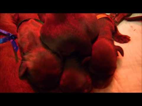 briard puppies sleep - first week