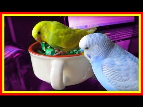 Прикольный смешной попугай🐥 играет конфетой🍬 #Птицы #игры