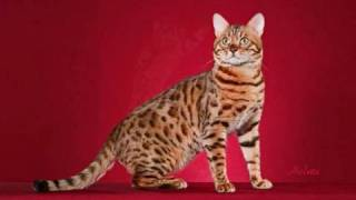 "Bengal Cat ""Kopa"" being photographed by the Flicks in Oklahoma 2009 Thumbnail"