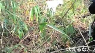 イノシシ捕獲用の足ワナに野犬がかかってしまった 携帯ムービーで撮影、...
