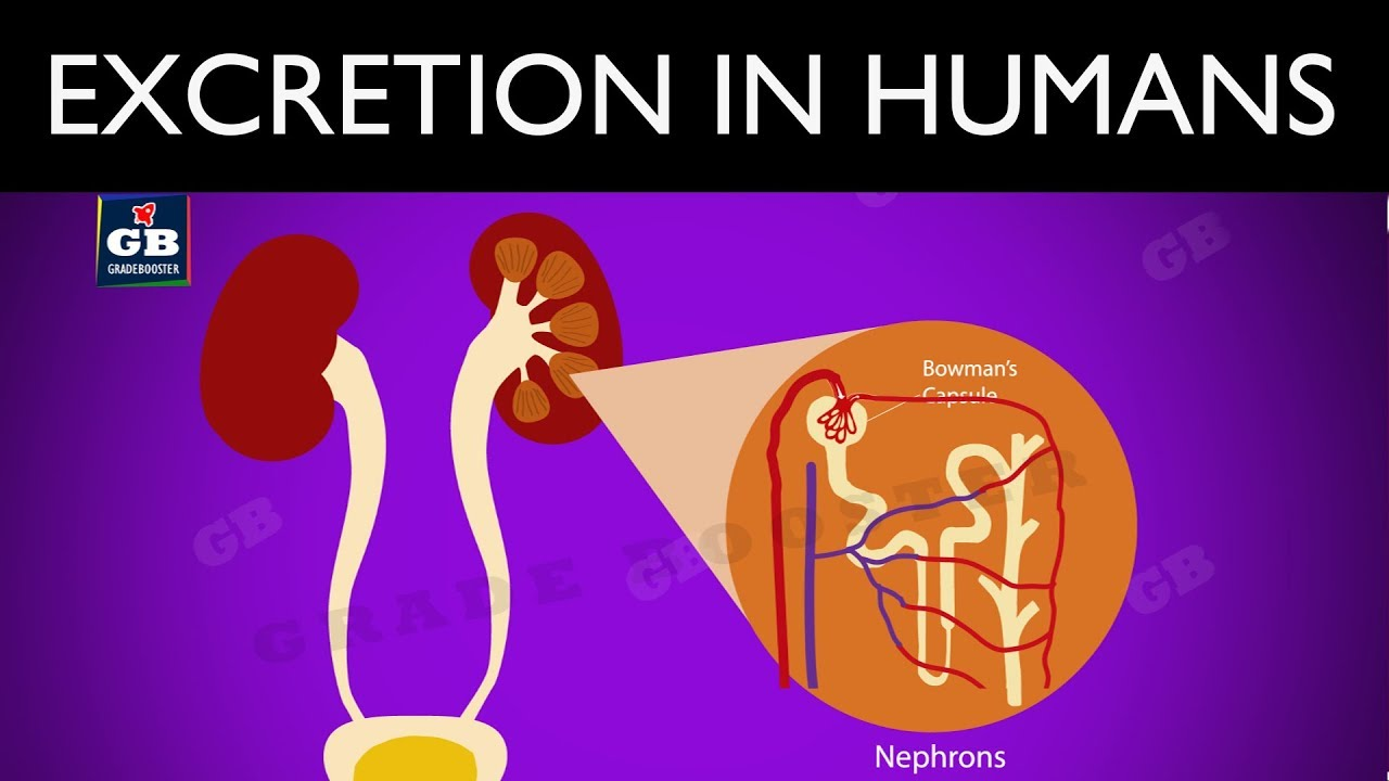 Excretion in human beings : Life Processes : 10th Biology ...