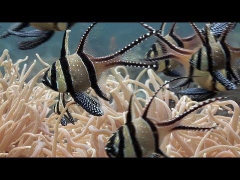 Mucky Secrets - Part 6 - Cardinalfishes & Trumpetfish - Lembeh Strait