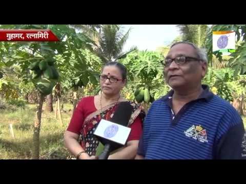 papaya farming at guhagar