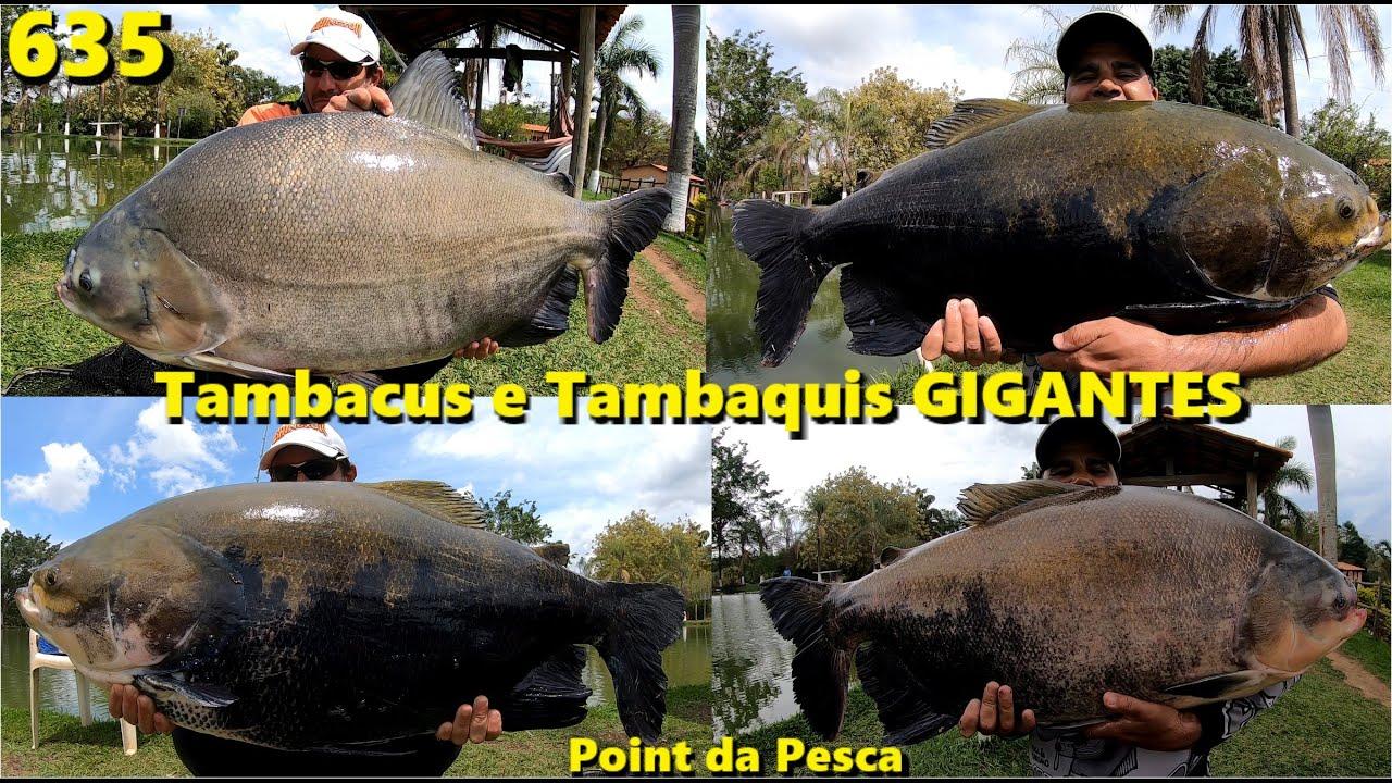 Grandes Tambacus e Tambaquis no lago de cima do Point da Pesca Corumba - Programa Fishingtur 635