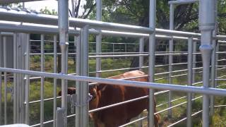 Tagging the cows