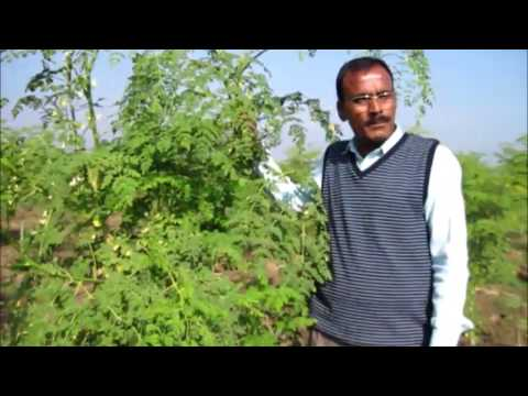 Organic Moringa or Drumstick  Cultivation