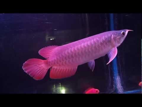 """ปลามังกรแดง Hi Quality Super Red 10"""". by Bankunta #6"""