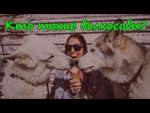 КТО ТАКИЕ ВОЛКОСОБЫ Волкособы — это 60 килограммов обаяния!  VOLKOSOB