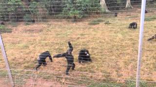 Ngamba Island Chimpanzee Sanctuary Uganda Lake Victoria