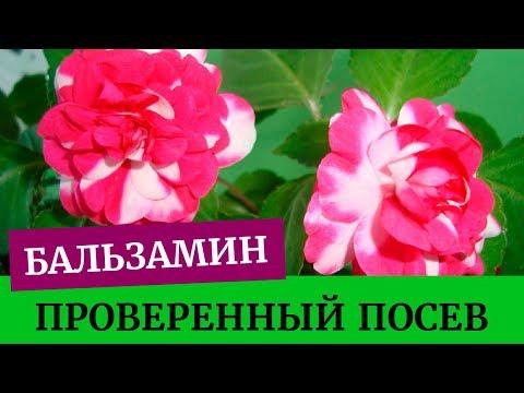 ��Посев бальзамина, проверенный метод. Грунт для бальзамина. Выращивание бальзамина из семян дома��