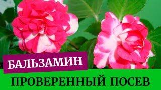 🌺Посев бальзамина, проверенный метод. Грунт для бальзамина.  Выращивание бальзамина из семян дома🌺