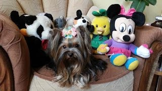 Yorkshire Terrier Crazy Fetch Playing Minnie Moon