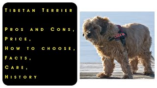 Tibetan Terrier. Pros and Cons, Price, How to choose, Facts, Care, History