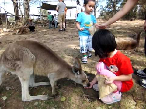 Kangaroo Feeding at Lone Pine Koala Sanctuary